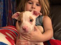 Cuteness with Fur! I have a Beautiful American Pitbull