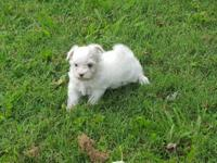 Little Maltese Male Pup CKC Born 7.20.15 Now ready to