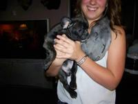 Super cute little CKC Brindle French Bulldog pup! He is