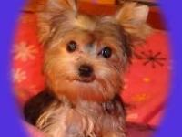 DA # 2643. Little Man is a really sweet little yorkie.