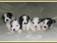 4 Boys, 2 (sold) Precious little Mini Schnauzer parti