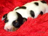 SMALL AMOUNT OF MOO is a black piebald miniature