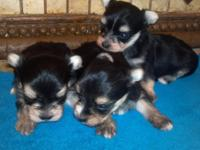 Taking deposits now...on our beautiful little1 male and