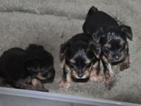 We have yorkie young puppies that will certainly be
