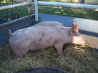 York / Hamp cross pigs for sale. Eight weeks old --