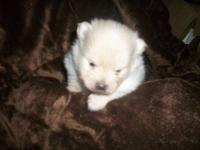 Female pom puppies. Have four litters. Will come with