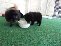I have three beautiful Pomeranian puppies ready for