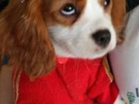 This Little princess is a pure breed Cavalier King