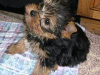 Little pure breed Yorkies with tail cut, medical