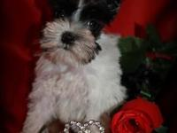 This PRECIOUS LITTLE GIRL IS ROSE. She is an AKC Teacup