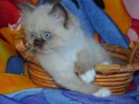 I have 2 gorgeous pure bred himalayan kittens