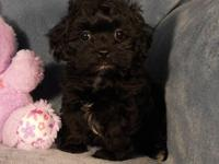 Darling Toy Shih Poo girl is eight weeks old, has had