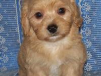 LITTLE TOYS SHIHPOO CKC 9 WEEKS. LOOK AT THIS LITTLE