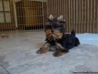 I have yorkie babies for sale! Males and females