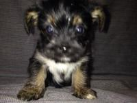 Little Yorkie poo male his dob-sept19 he will be 8