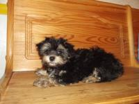 Very small Yorkie-poo male his Dob 1-5 he is 3 months