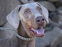 Zoe is a small, energetic Dobie girl we just rescued at