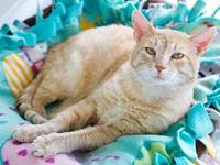 My story DSH orange tabby Neutered maleLittle Kitty