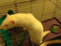 i am selling my little white ferret ally, we just got