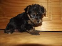 This is Hunter a Cute little yorkie poo male he is 6