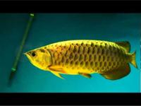 We supply live Super Red, Red Asian Arowana,jardini