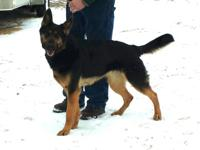 Fun loving German shepherd looking for excellent home.
