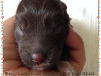 Our beautiful litter of toy schnauzers are here,