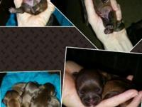 We have 3 Liver Gene Chocolate Shih Tzu puppies