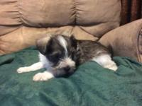 I have a liver parti tiny schnauzer puppy for sale. She