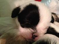 Adoralbe male and female Shih Tzu puppies female light