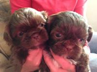 CKC Shih Tzu, chocolate puppies with liver points. Dew
