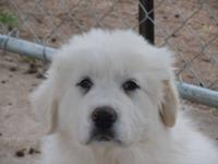 We raise and sell Great Pyrenees, Anatolian and Turkish