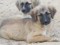 Anatolian Shepherd puppies- 3 ladies moms and dads on