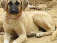 Anatolian Shepherd 5-13-14 shots, wormed, dealing with
