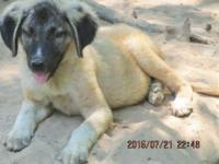 Anatolian - great pyr. 1 male 1 female working with