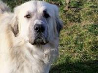 Livestock Guardian Dog. 2 1/2 years old, altered male.