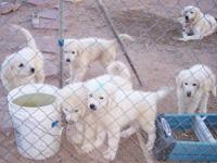 Maremma Sheepdog puppies--now being raised with goats,