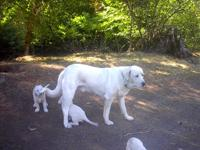 Livestock Guardian Puppies:   Working farm dogs