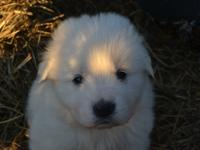 These puppies are 3/4 Maremma and 1/4 Great Pyrenees.