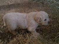ONE LEFT AS OF 11/3! LIVESTOCK GUARDIANS for sale!