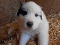 I have two male LGD puppies that will be available on