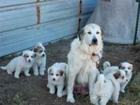 Great Pyrenees, working parents, have been around