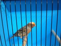 Several types of lizard canaries for sale: gold,