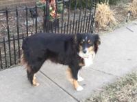 Lizzie is a 2 years of age complete blood Aussie. She