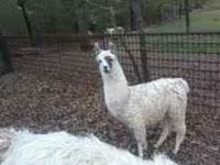 Llama male six months old in picture below $ 150.00