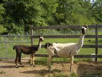 WHITE & BLACK FEMALE LLAMA. 9 years old, halter broke,
