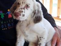 English Setter For Sale In Washington Classifieds Buy And Sell In