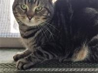 Max is a 1 1/2 to 2 year old male brown tabby. He is