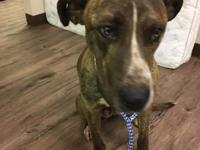 LO is an approximately 2 year old Pitt Bull/Shepherd