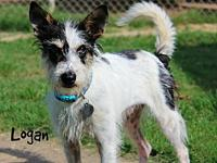 My story LoganMaleWirehaired Jack Russell Terrier